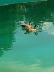 אווזים (Medium)